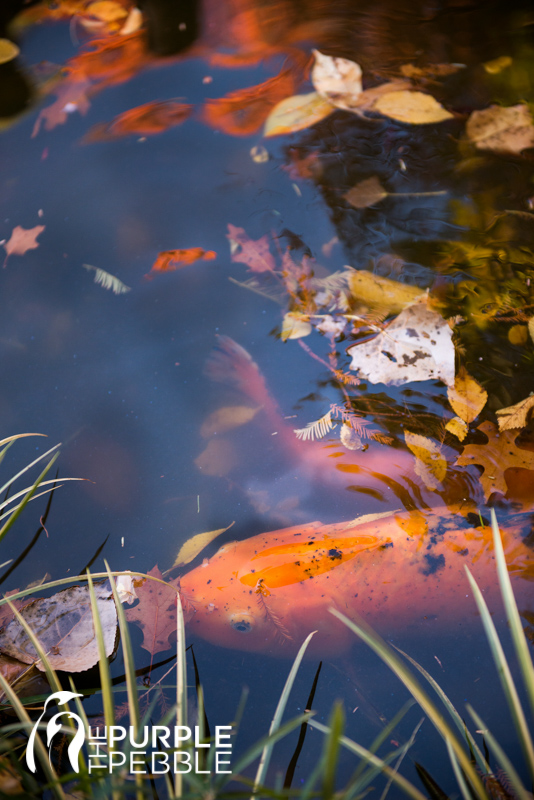 Romantic outdoor fall engagement koi fish the purple for How much are koi fish worth